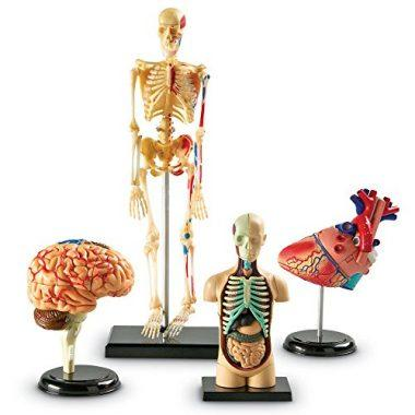 Anatomy Models Bundle Set by Learning Resources