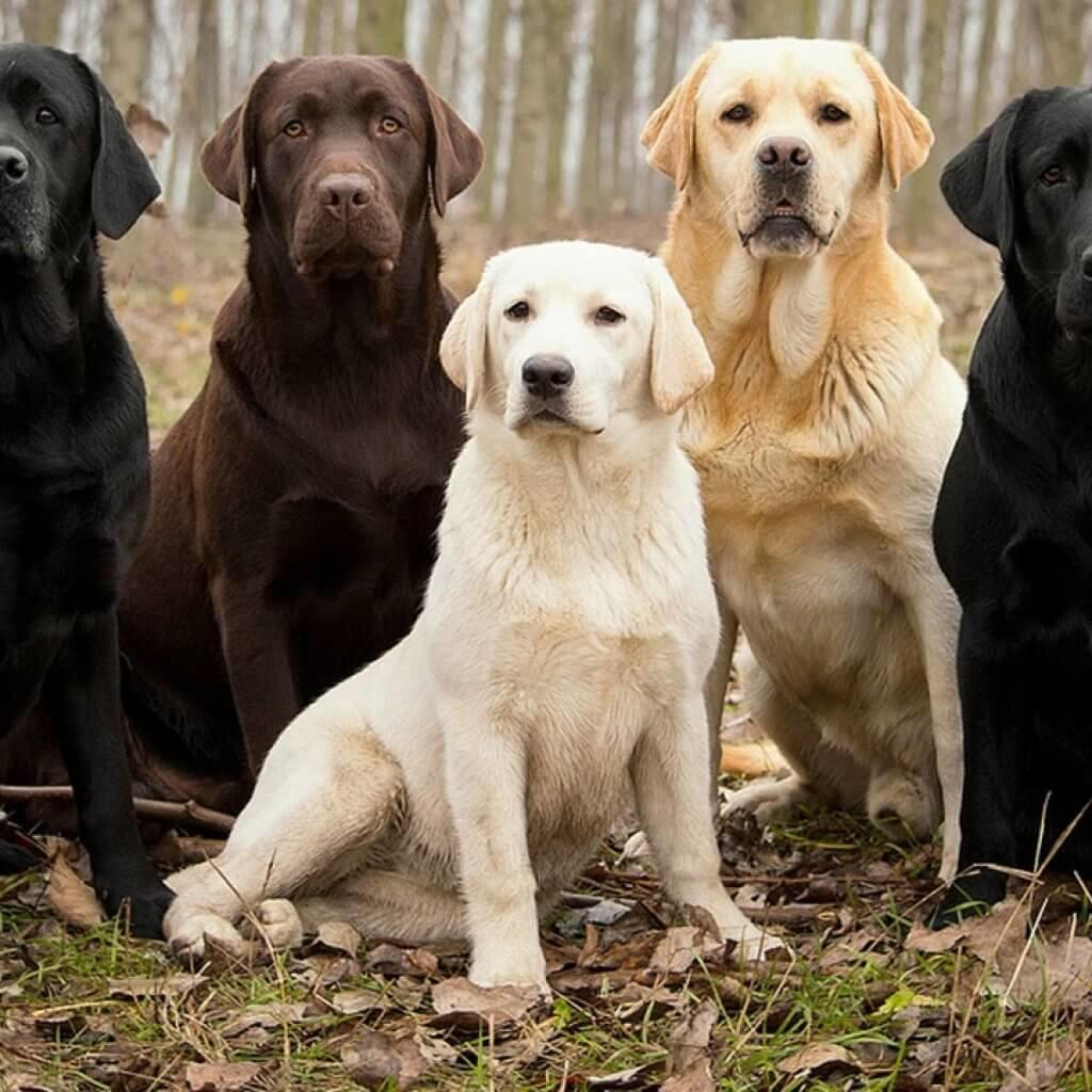 Labrador-Retriever-Best-Dog-Breeds