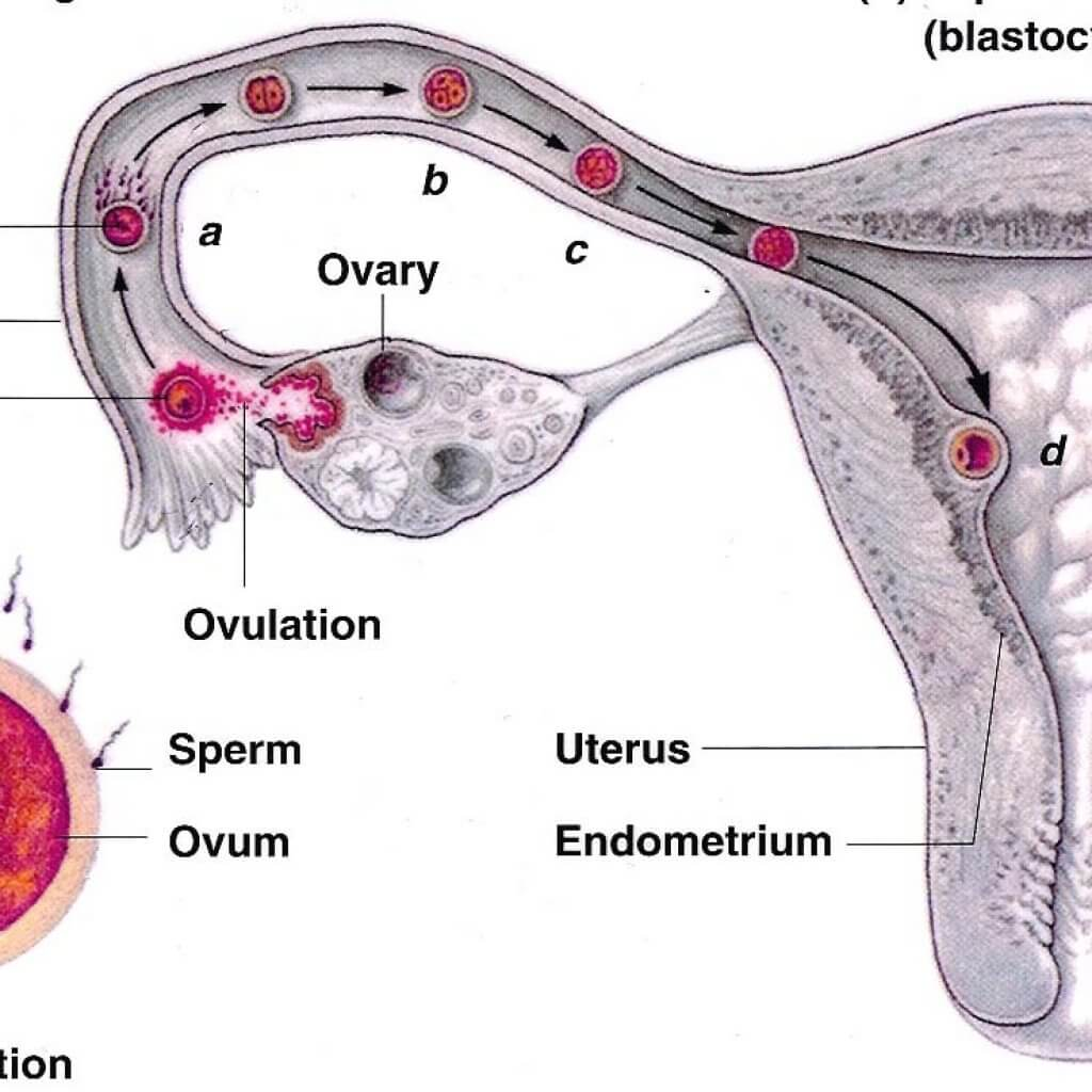 Blastocyst-Phase-Pregnancy-Guide