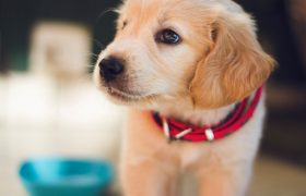 6 Things to Consider Before Getting a Puppy for Christmas