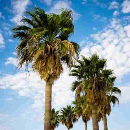 palm-trees-sugar-alternative-blog-page